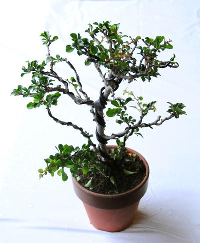 bonsai1310_400_02
